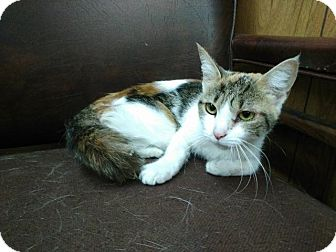 Calico Cat for adoption in Shelbyville, Tennessee - Emma