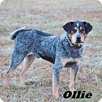Adopt A Pet :: Ollie meet me 11/18 - Manchester, CT