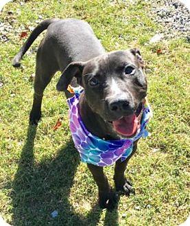 Pit Bull Terrier Mix Dog for adoption in Greensboro, North Carolina - Rucker