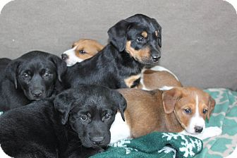 Shepherd (Unknown Type) Mix Puppy for adoption in Staunton, Virginia - Puppies!