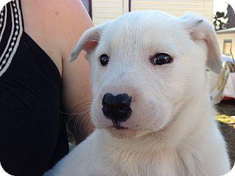 Shepherd (Unknown Type)/Golden Retriever Mix Puppy for adoption in Atascadero, California - June