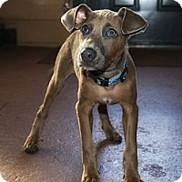 Adopt A Pet :: Gregarious Gina - Brooklyn, NY