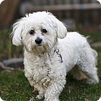 Adopt A Pet :: Gaston - Rigaud, QC