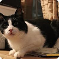 Domestic Shorthair Cat for adoption in New York, New York - Finn
