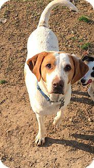 Hound (Unknown Type)/Hound (Unknown Type) Mix Dog for adoption in Richmond, Virginia - Charlie
