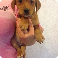 Adopt A Pet :: LUCY LITTER #5 - Pompton Lakes, NJ