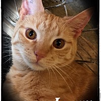 Domestic Shorthair Cat for adoption in Woodsfield, Ohio - Larry