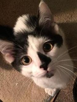American Shorthair Cat for adoption in Sedalia, Missouri - Kannon