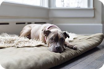 Boxer/Pit Bull Terrier Mix Dog for adoption in Elgin, Illinois - Jodie
