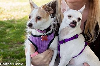 Terrier (Unknown Type, Medium)/Chihuahua Mix Dog for adoption in Tucson, Arizona - Duckie & Pitri