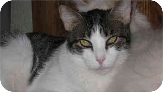 Domestic Shorthair Cat for adoption in Scottsdale, Arizona - Dylan