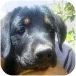 Labrador Retriever/Rottweiler Mix Puppy for adoption in Gilbert, Arizona - DAISY