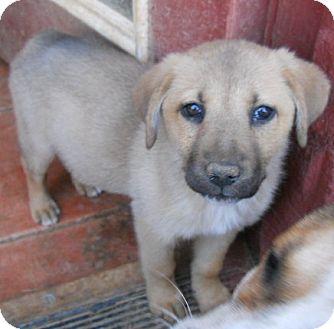 German Shepherd Dog/Labrador Retriever Mix Puppy for adoption in dewey, Arizona - Frosty