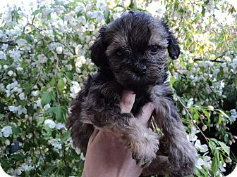 Shih Tzu/Poodle (Toy or Tea Cup) Mix Puppy for adoption in Northumberland, Ontario - Puppy