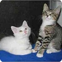 Adopt A Pet :: Socks (with Jasper) - Portland, OR