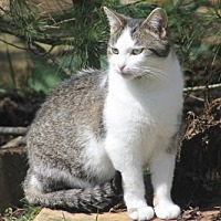 Domestic Shorthair Cat for adoption in Morehead, Kentucky - Kimmie ADULT FEMALE