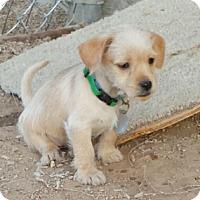 Adopt A Pet :: Denny - Scottsdale, AZ