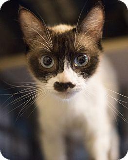 Siamese Cat for adoption in Houston, Texas - JUNO