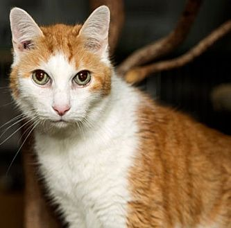 Domestic Shorthair Cat for adoption in Lombard, Illinois - Nemo