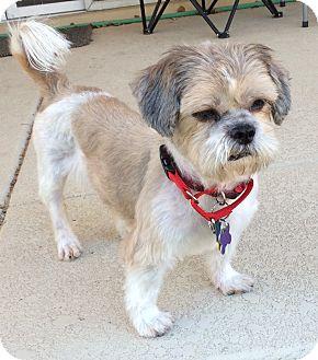 Shih Tzu Dog for adoption in Phoenix, Arizona - Sir Jeffrey