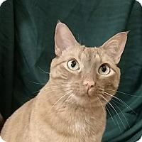 Adopt A Pet :: Misti - Tega Cay, SC