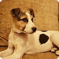Adopt A Pet :: Hope- Indian Pariah pup - Monroe, NJ