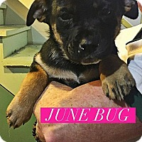 Adopt A Pet :: June Bug - Winchester, VA