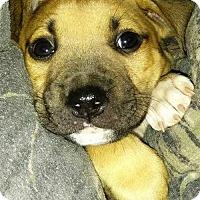 Adopt A Pet :: TRISTAN - Boston, MA