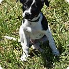 Adopt A Pet :: Dodger
