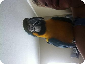 Macaw for adoption in Fountain Valley, California - Downey