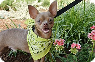 Chihuahua/Boston Terrier Mix Dog for adoption in Princeton, Kentucky - Paco
