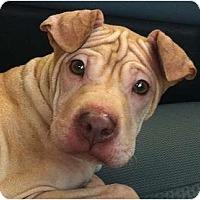 Adopt A Pet :: Little - Kingwood, TX