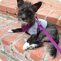 Adopt A Pet :: Cosmolina - Santa Monica, CA