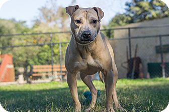American Staffordshire Terrier Mix Dog for adoption in Jacksonville, Florida - Homer