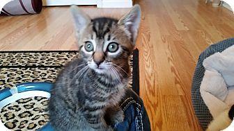 Domestic Shorthair Kitten for adoption in Turnersville, New Jersey - Kennedy
