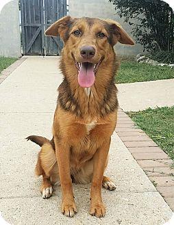 German Shepherd Dog Mix Dog for adoption in Fredericksburg, Texas - Thea