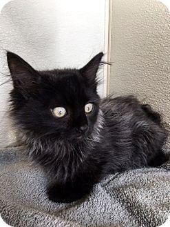 Domestic Longhair Kitten for adoption in Las Vegas, Nevada - Kason