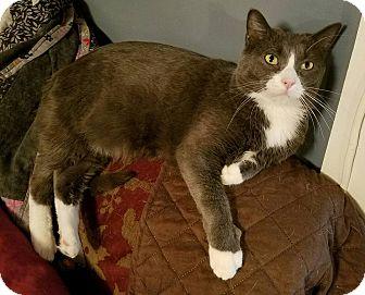 Domestic Shorthair Cat for adoption in Kansas City, Missouri - Blaze