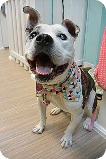 Pit Bull Terrier Mix Dog for adoption in Fargo, North Dakota - Yolanda