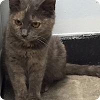 Adopt A Pet :: Pellan - Manchester, CT