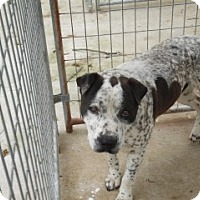 Adopt A Pet :: Grizzly - Clarksville, AR