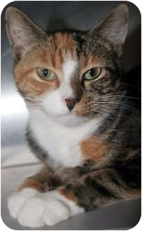 Domestic Shorthair Cat for adoption in Richboro, Pennsylvania - Juneau
