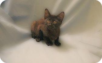 Domestic Shorthair Kitten for adoption in Richmond, Virginia - Miyo