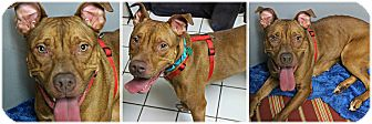 Labrador Retriever Mix Dog for adoption in Forked River, New Jersey - Sedona