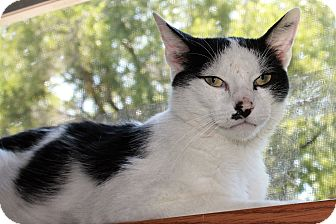 American Shorthair Cat for adoption in Manhattan, Kansas - Binx