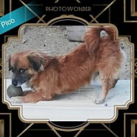 Poodle (Miniature)/English Toy Spaniel Mix Dog for adoption in San Bernardino, California - Pico