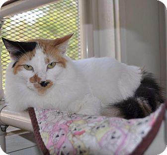 Domestic Longhair Cat for adoption in Sunrise Beach, Missouri - Itty Bitty