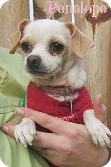 Chihuahua Mix Dog for adoption in Menomonie, Wisconsin - Penelope