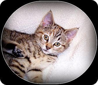 Domestic Shorthair Kitten for adoption in South Plainfield, New Jersey - Jillian