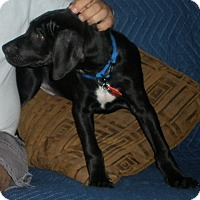 Adopt A Pet :: Puppies-Puppies-Puppies :-)!!! - Sun Valley, CA